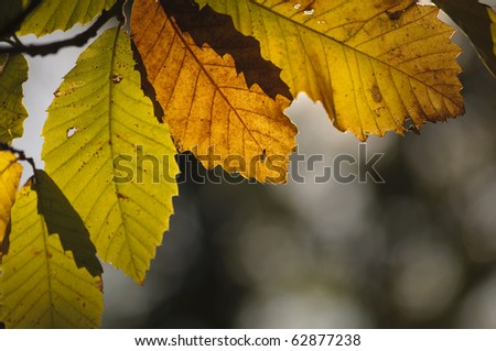 autumn leaves in chestnut woods