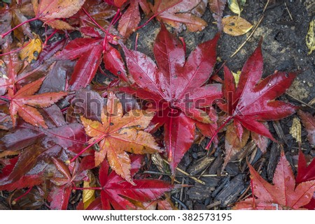 Autumn leaves in full color - stock photo