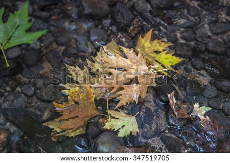 Autumn leaves in mountain stream.