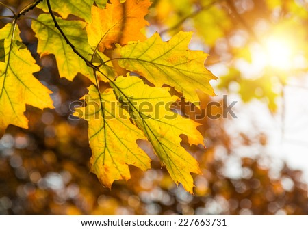 Autumn leaves in sunlight, shallow DOF - stock photo