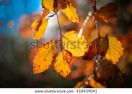 Autumn leaves in the light of sun on a branch