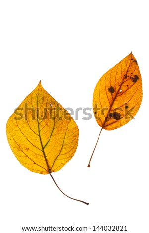 autumn leaves isolated