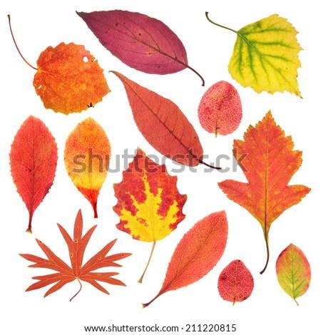 Autumn leaves isolated on white - stock photo