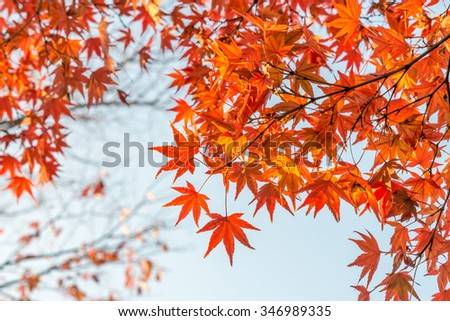 Autumn leaves (koyo) Colorful Autumn foliage Red momiji (Japanese maple) season look up above tree under Golden Sky Sunset in Kyoto, Japan - stock photo