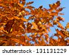 Autumn leaves - leaves of oak - stock photo