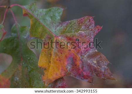 Autumn leaves oak leaf after rain storm very wet - stock photo