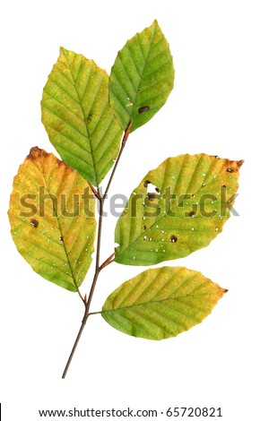 Autumn leaves of a copper beech, top surface