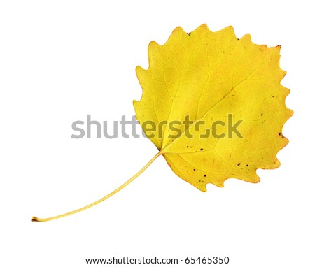 Autumn leaves of an aspen, under-surface - stock photo