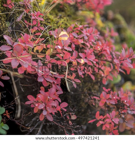 Autumn leaves of Bilberry , Vaccinium myrtilus, at Torsmork, Iceland with drops of rainwater and a black volcanic soil