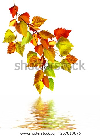 autumn leaves of birch isolated on white background - stock photo