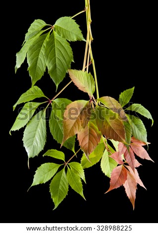 autumn leaves of vine on a black background - stock photo