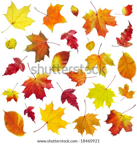 Autumn leaves on a white background... - stock photo