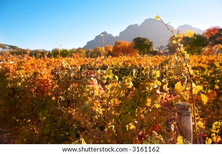 Autumn leaves on the vines in the vineyards at Boschendal, Western Cape, South Africa. Shallow Depth of Field. Focus on single vine in the foreground - stock photo
