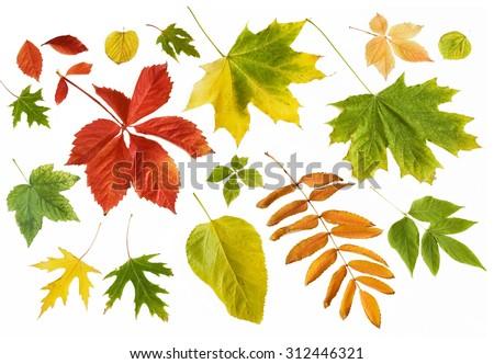 Autumn leaves set isolated on white background - stock photo