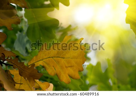 Autumn  leaves   tree   oak - stock photo