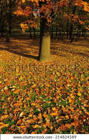 Autumn leaves under the oak tree. - stock photo