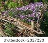 Autumn magenta flower-bad (flowers grow through a wicker fence) - stock photo
