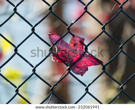 Autumn Maple Leaf captured on a wire fence - stock photo