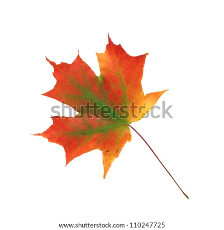autumn maple leaf isolated on a white background - stock photo