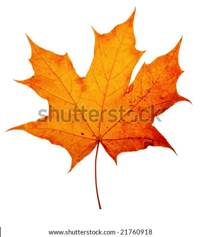 autumn maple-leaf, isolated on a white background - stock photo