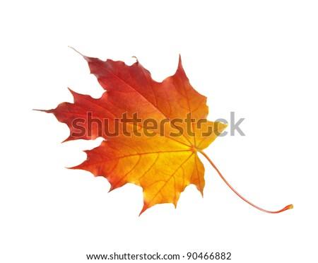 autumn maple leaf isolated on a white background - stock photo