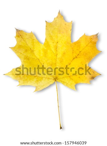 Autumn maple leaf isolated on a white background. Clipping Path - stock photo