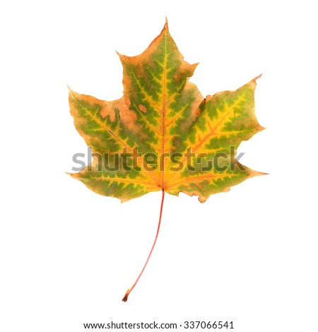 Autumn maple leaf, isolated on white - stock photo