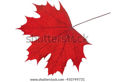 Autumn maple leaf isolated on white background - stock photo