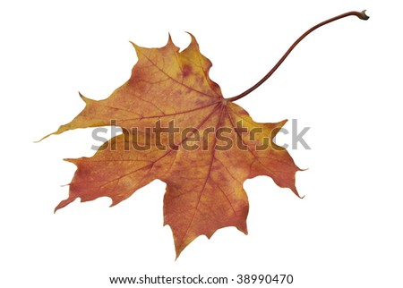 Autumn maple leaf on a white background without shadows
