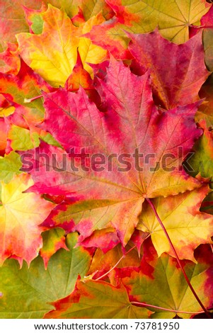 autumn maple leaf on leaves background - stock photo