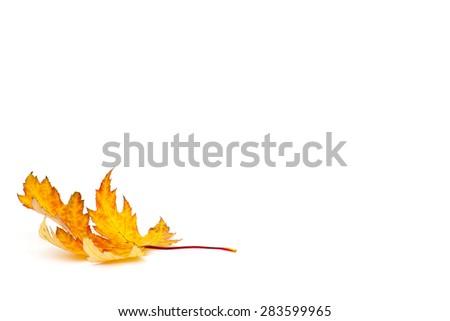 autumn maple leaf on white background - stock photo