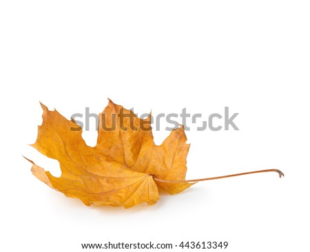 Autumn maple leaf on white background. - stock photo