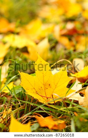 Autumn maple leafs in the grass. Bokeh in the background - stock photo