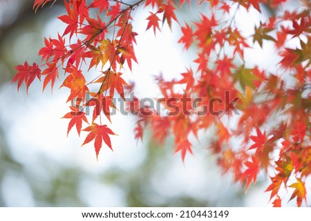 Autumn maple leaves - stock photo