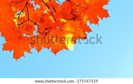 Autumn maple leaves and  blue sky background outdoor