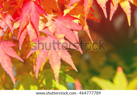 Autumn maple leaves background,  blurred background
