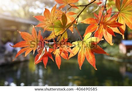 Autumn maple leaves background close-up - stock photo
