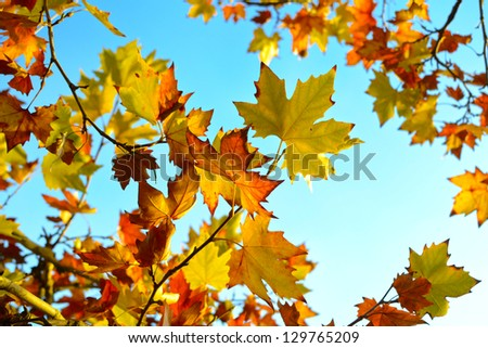 Autumn maple leaves background tree - stock photo