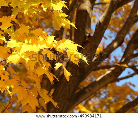 Autumn Maple Leaves. Fall Background