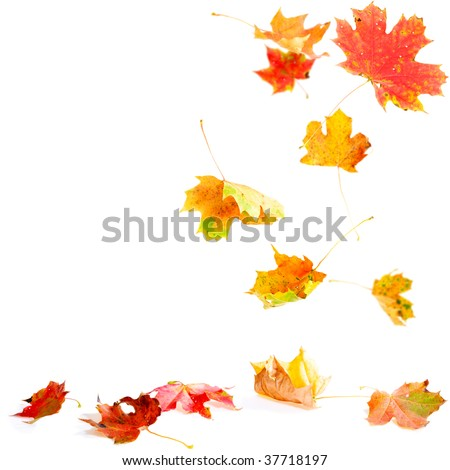 Autumn Maple leaves falling to the ground - stock photo