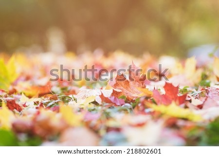 autumn maple leaves on green hedge, close up - stock photo