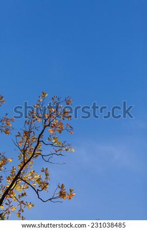 Autumn maple leaves on tree against blue sky - stock photo