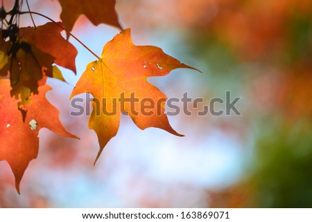 Autumn maple leaves with clear sky background  - stock photo