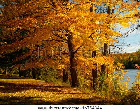 Autumn maple tree - stock photo
