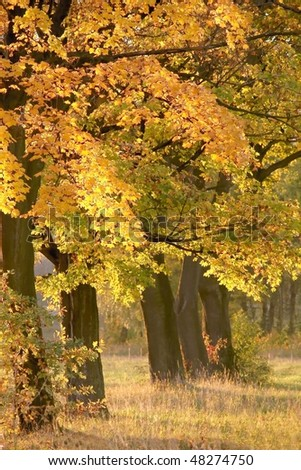 Autumn maple trees backlit by the rays of the setting sun. - stock photo