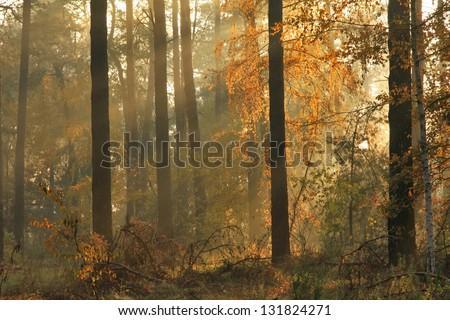 Autumn misty forest on sunrise - stock photo