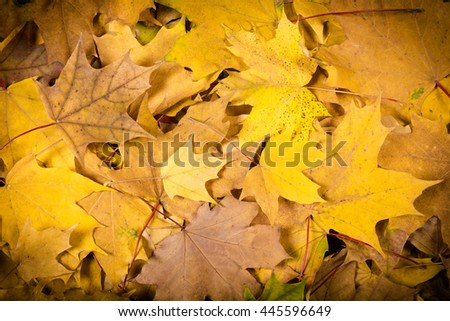 Autumn natural background with maple yellow leaves, space for text - stock photo