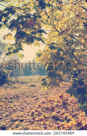 Autumn natural landscape: maple trees and dry yellow maple leaves on the ground under autumn sun light. Toning effect done with a vintage retro Instagram style filter - stock photo