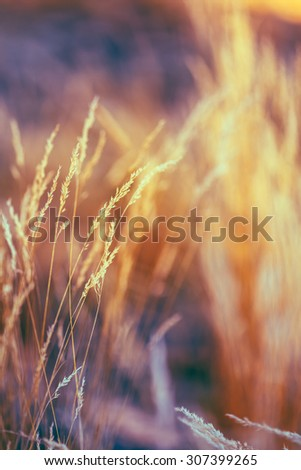 Autumn Nature Natural Background Of Dry Grass. Bokeh, Boke Grass With Sunlight Colors Toned Image - stock photo