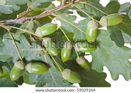 Autumn nature oak tree acorn nut green leaf branch - stock photo